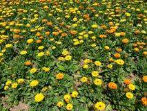 Campo de flor amarillo y anaranjado Imagen de archivo libre de regalías