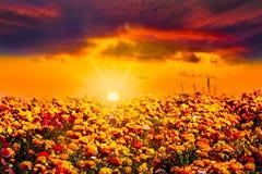 Campo de flor azul alaranjado dourado do ranúnculo do por do sol Foto de Stock Royalty Free