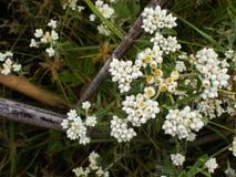 Campo de flor blanca en Kew Mae Pan Nature, nacional de Doi Inthanon Imágenes de archivo libres de regalías
