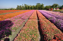 Campo de flor colorido Foto de archivo libre de regalías