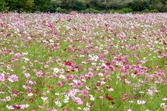 Campo de flor colorido del cosmos foto de archivo libre de regalías