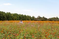 Campo de flor colorido del cosmos foto de archivo