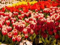 Campo de flor colorido del tulipán imagenes de archivo