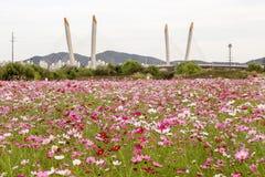 Campo de flor colorido do cosmos Fotos de Stock Royalty Free