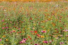 Campo de flor colorido do cosmos Imagens de Stock Royalty Free