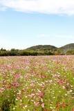Campo de flor colorido do cosmos Imagem de Stock Royalty Free