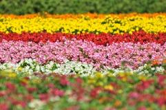 Campo de flor colorido em Japão Imagem de Stock Royalty Free