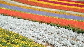 Campo de flor colorido em Japão Imagens de Stock