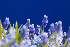 Campo de flor con los jacintos de uva azules florecientes Imagenes de archivo