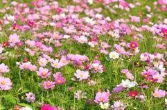 Campo de flor cor-de-rosa Imagens de Stock Royalty Free