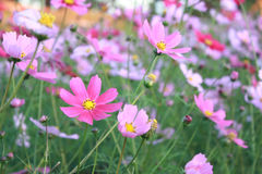 Campo de flor cor-de-rosa Foto de Stock Royalty Free