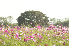 Campo de flor cor-de-rosa Imagem de Stock Royalty Free