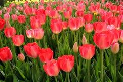 Campo de flor cor-de-rosa Imagens de Stock