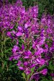 Campo de flor cor-de-rosa brilhante natural do jardim no inverno Imagens de Stock Royalty Free