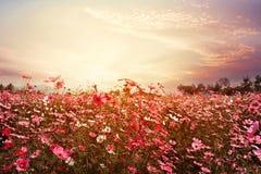 Campo de flor cor-de-rosa e vermelho bonito do cosmos com luz do sol Foto de Stock Royalty Free