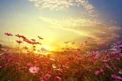 campo de flor cor-de-rosa e vermelho bonito do cosmos com por do sol Fotografia de Stock