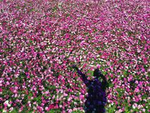 Campo de flor cor-de-rosa colorido Fotografia de Stock