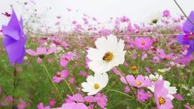 Campo de flor cor-de-rosa e branco do cosmos com a abelha em uma flor branca filme
