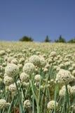 Campo de flor da cebola branca Imagem de Stock Royalty Free