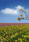Campo de flor da mola Fotografia de Stock Royalty Free
