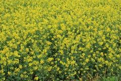 Campo de flor da planta da violação Fotografia de Stock Royalty Free