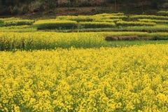 Campo de flor da planta da violação Imagens de Stock Royalty Free