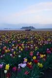 Campo de flor da tulipa Fotos de Stock Royalty Free