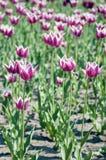 Campo de flor da tulipa Imagem de Stock Royalty Free