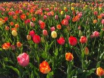 Campo de flor da tulipa na mola imagem de stock