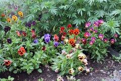 Campo de flor da viola Foto de Stock