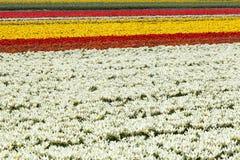 Campo de flor das tulipas Fotografia de Stock Royalty Free