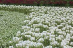 Campo de flor de araña Fotografía de archivo