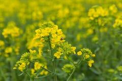 Campo de flor de la abeja Fotografía de archivo libre de regalías