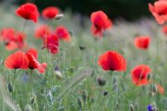 Campo de flor de la amapola Fotos de archivo