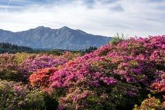 Campo de flor de la azalea Fotografía de archivo
