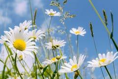 Campo de flor de la margarita Imagenes de archivo