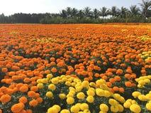 Campo de flor de la margarita Imágenes de archivo libres de regalías