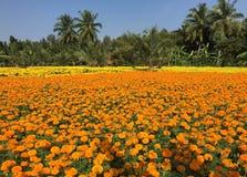 Campo de flor de la margarita Fotografía de archivo