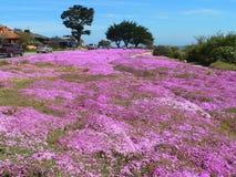 Campo de flor de la planta de hielo Imagen de archivo libre de regalías