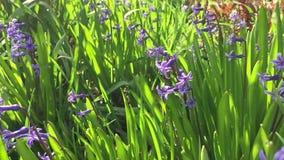 Campo de flor de la primavera almacen de video