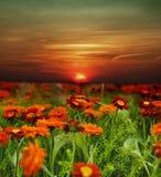 Campo de flor de la puesta del sol Fotografía de archivo
