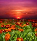 Campo de flor de la puesta del sol Imágenes de archivo libres de regalías
