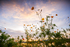 Campo de flor de la puesta del sol Imagen de archivo libre de regalías