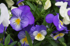 Campo de flor de la viola Fotografía de archivo