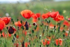 Campo de flor de las amapolas Foto de archivo libre de regalías
