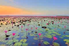 Campo de flor de Lotus Imagens de Stock