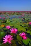 Campo de flor de Lotus Fotografia de Stock