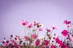 Campo de flor de Pinkcosmos en otoño Fotografía de archivo libre de regalías
