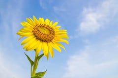 Campo de flor de Sun Imagem de Stock Royalty Free