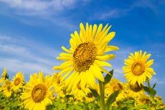 Campo de flor de Sun Foto de Stock